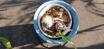 シンピジューム(8)立春になりましたが… バックバルブの芽吹き。