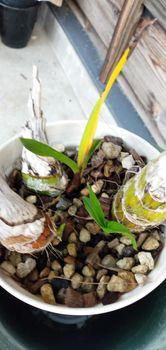 シンピジューム(8)立春になりましたが… バックバルブの葉やけ。