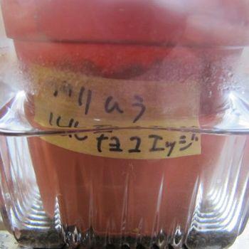プリムラをタネから育ててみよう! 4月23日タネを蒔きました