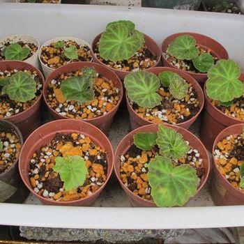 フォーチュンベゴニアの種まきに挑戦! 5月25日の様子