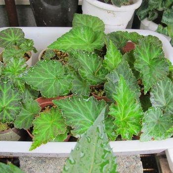 フォーチュンベゴニアの種まきに挑戦! 6月14日瑞々しい葉っぱです