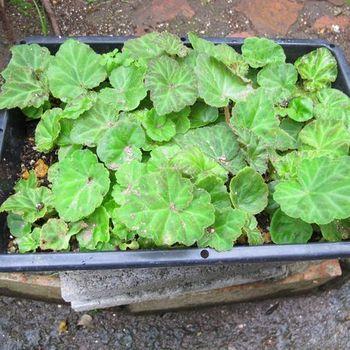 フォーチュンベゴニアの種まきに挑戦! 試しに遅れて2月に種まきした苗の様子