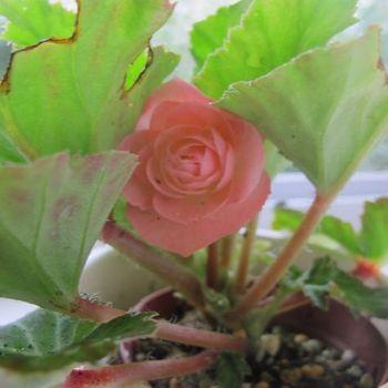 フォーチュンベゴニアの種まきに挑戦! 6月26日花が咲いた!