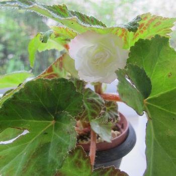 フォーチュンベゴニアの種まきに挑戦! 7月5日他の苗にも花が咲きました