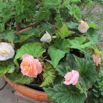 フォーチュンベゴニアの種まきに挑戦! 鉢にポットごと入れてみました!