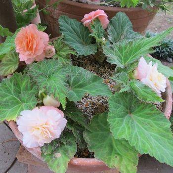 フォーチュンベゴニアの種まきに挑戦! ポットから鉢へ植え替えました