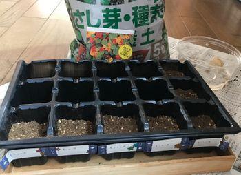 種からナスタチウムの栽培に挑戦 2021/2/20  種蒔き