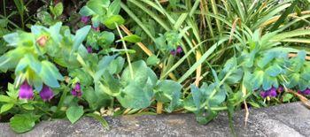 種から育てる神秘的な花 セリンセ 裏庭のセリンセは元気