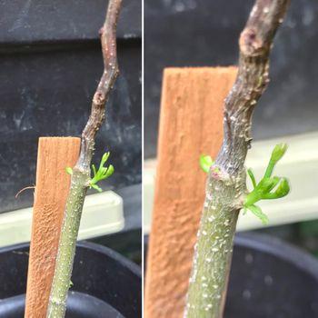 鳳凰木ベビー22株はじめての越冬(屋外) 2021年6月7日新芽成長