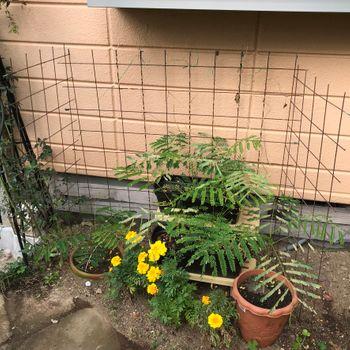 鳳凰木ベビー22株はじめての越冬(屋外) 屋外越冬メンバー揃う