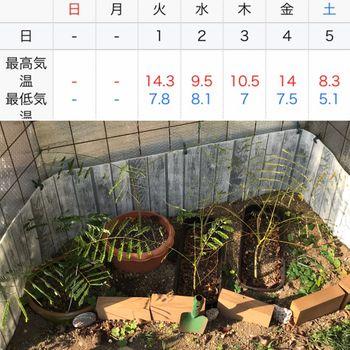 鳳凰木ベビー22株はじめての越冬(屋外) 10℃以下の日が続く