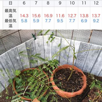 鳳凰木ベビー22株はじめての越冬(屋外) 引き続く寒い