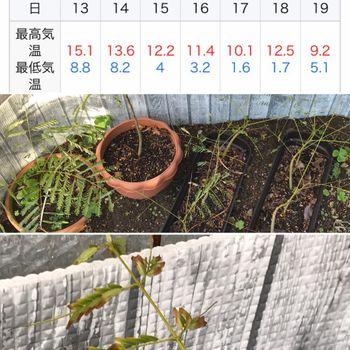 鳳凰木ベビー22株はじめての越冬(屋外) 落葉前の変色がはじまる