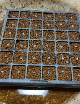 バジルソースをつくる 種蒔き