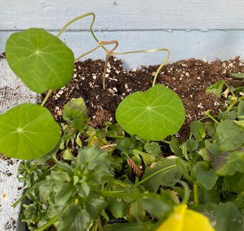【2021年春◆育成中】種から育てるナスタチューム 4/6 戸外の窓下プランターへ移植