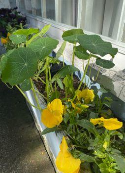 【2021年春◆育成中】種から育てるナスタチューム 5/16 定植後5週間。花芽まだ見えず
