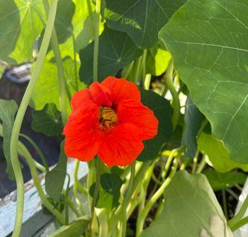 【2021年春◆育成中】種から育てるナスタチューム 開花