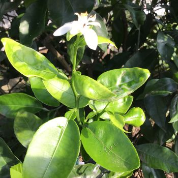 ビックリ‼️種蒔から1年4カ月で開花〜🌸🍊❓ 6月7日 驚きの開花