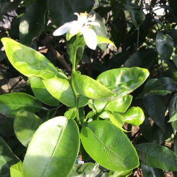 ビックリ‼️種蒔から1年4カ月で開花〜🌸🍊❓