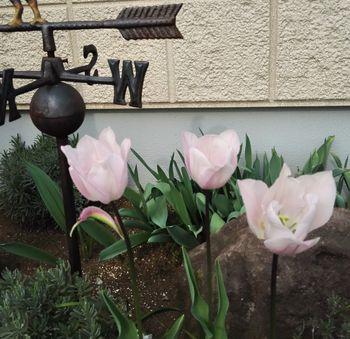 チューリップの花色が変わったと思ったら『モザイク病』でした! 1年目の開花