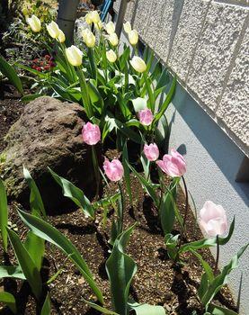 チューリップの花色が変わったと思ったら『モザイク病』でした! 2年目の開花