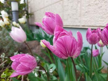 チューリップの花色が変わったと思ったら『モザイク病』でした! 3年めの開花