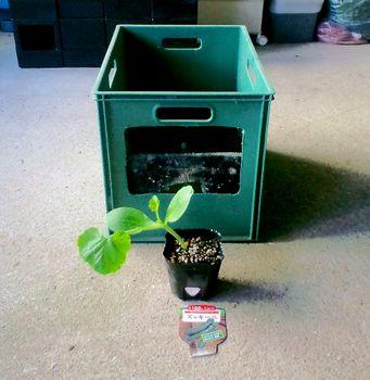 タテニワ・垂直栽培 収納ボックスでズッキーニ栽培Ⓡ