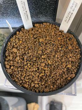 プルゲリ カリキュラス 実生レポ 種まき