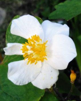 植木鉢に咲く白雪ケシを楽しもう🎵 花弁が6枚の花が咲き