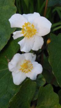 植木鉢に咲く白雪ケシを楽しもう🎵 花弁が6枚と4枚の花が咲いています