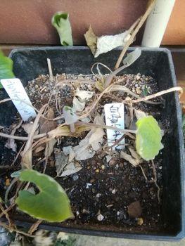 植木鉢に咲く白雪ケシを楽しもう🎵 2月23日 発芽