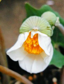 植木鉢に咲く白雪ケシを楽しもう🎵 初花が開花中です🍀