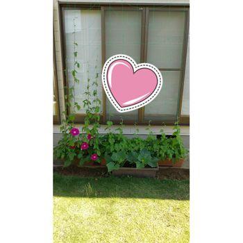 あさがおでグリーンカーテンに挑戦🎵 2021/6/26 フェンスに開花