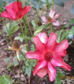 2021/ ラックス・テセウス 4/11 蕾2個開花