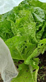 ミニ白菜♪タイニーシュシュ春撒き2021【終了】 少しづつ収穫。そして終了。