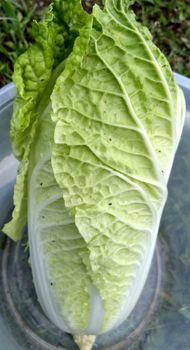 ミニ白菜♪タイニーシュシュ春撒き2021【終了】 6/22 ついに収穫