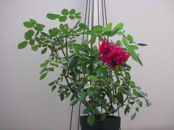 クリムソン・グローリーを咲かせたい! 2021年5月13日 一番花ラスト
