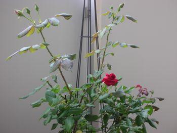 クリムソン・グローリーを咲かせたい! 2021年6月11日 二番花開花