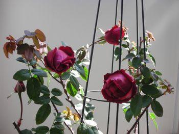 クリムソン・グローリーを咲かせたい! 2021年3月9日 越冬した蕾の開花