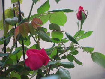 クリムソン・グローリーを咲かせたい! 2021年4月9日 春の一番花・開花間近