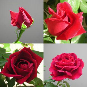 クリムソン・グローリーを咲かせたい! 2021年4月11~13日 春の一番花