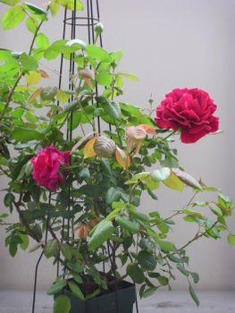 クリムソン・グローリーを咲かせたい! 2021年4月14日 春の一番花・全開