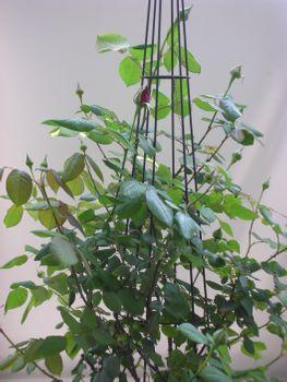 クリムソン・グローリーを咲かせたい! 2021年4月20日 花後の切り戻し