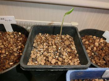 北海道でポポー栽培 6月9日 芽が大きくなりました。