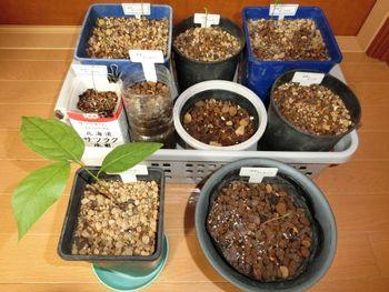 北海道でポポー栽培 6月23日 一気に芽吹き
