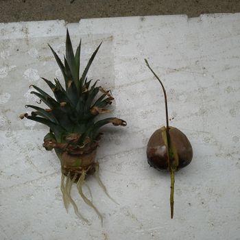 アボカドの成長記録 ぷらす パイナップル 6/19   2個目とパイナップルの植替