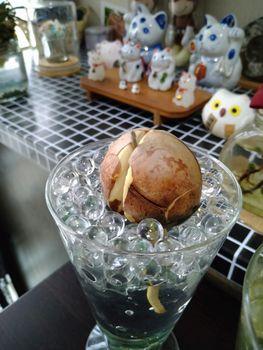 アボカドの成長記録 ぷらす パイナップル 発芽 5mm