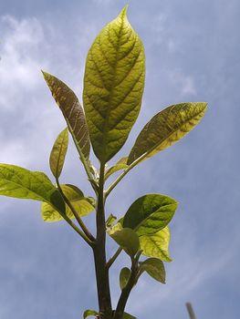 アボカドの成長記録 ぷらす パイナップル
