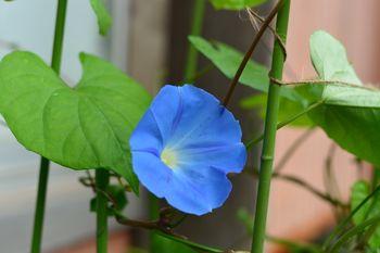 苗からの朝顔ヘブンリーブルー 210629 開花
