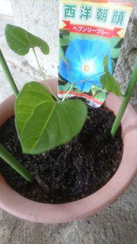 苗からの朝顔ヘブンリーブルー 210427 定植